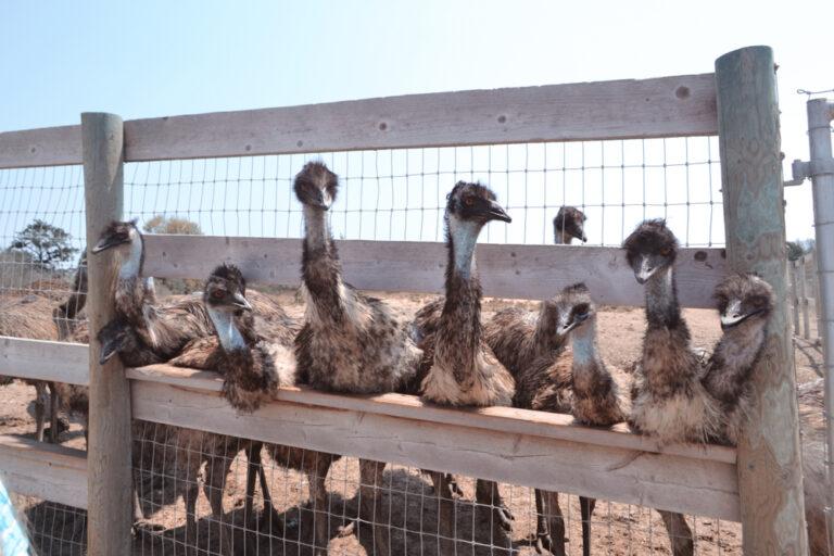 Struzzo australiano: caratteristiche e proprietà nutrizionali